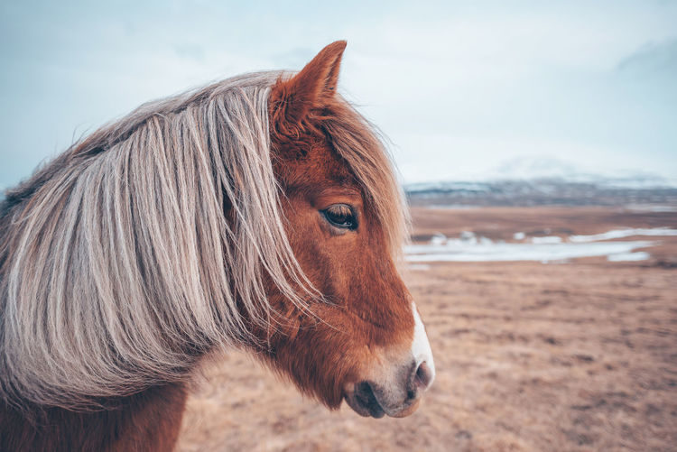 Icelandic horse Animal Animal Body Part Animal Hair Animal Head  Animal Themes Animal Wildlife Animals Brown Day Domestic Domestic Animals Focus On Foreground Herbivorous Horse Icelandic Icelandic Horse Land Livestock Mammal Mane Nature No People One Animal Outdoors Pets Portrait Profile View Vertebrate Wild