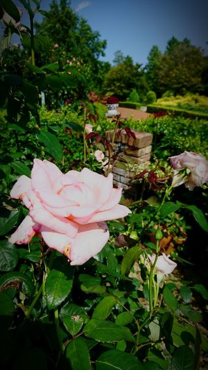 Flower Nature Plant Growth Petal No People Beauty In Nature Day Outdoors Rose - Flower Flower Head Fragility Freshness Close-up Sky Nature 虹の郷 Grass 修善寺 Japan Botanical Garden Japan Photos Green Color Forest Beauty In Nature