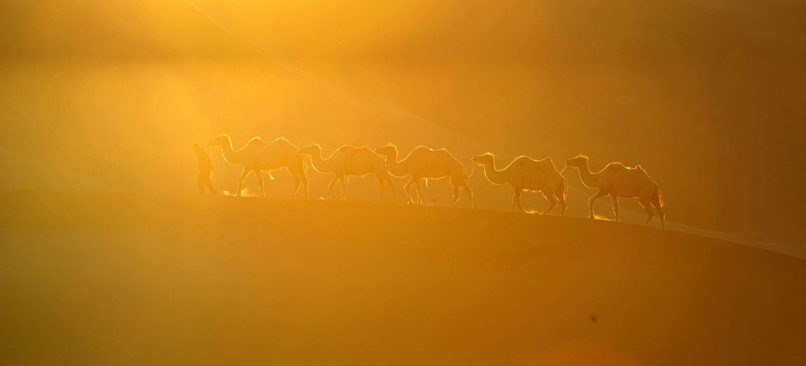 Herder with camels on sand dune in desert