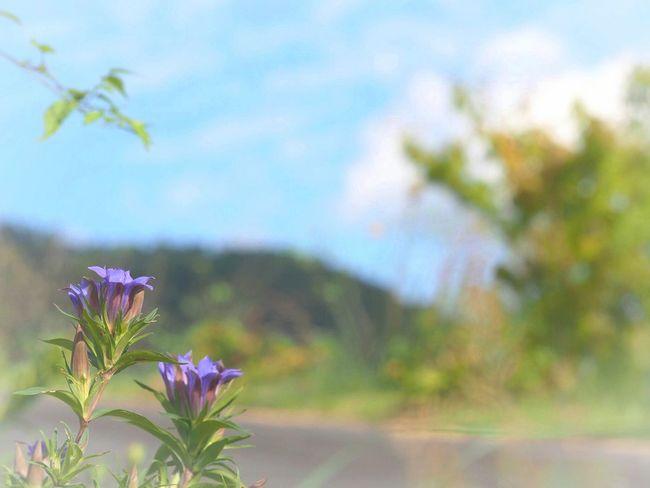 秋空の下…君と手を繋いで歩きたいな いつかの空 Autumn さんぽ Taking Photo リンドウ Flower Purple Flower 空 Sky Sky_collection Flower Collection Nature EyeEm Nature Lover EyeEm Best Shots - Nature