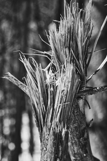 Splintered Blackandwhite Tree Wood Textures and Surfaces Textured  Broken Cracked Branch Winter Cold Natural Light Tree Rural Scene Winter Close-up Plant Dead Plant