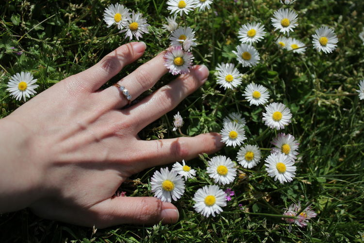 Cropped hand of woman touching daisies