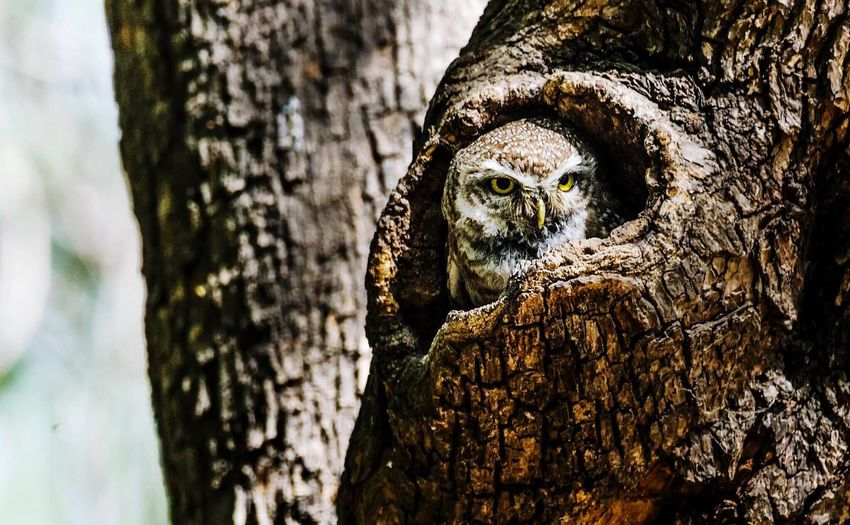 Curious owl hiding in tree hollow