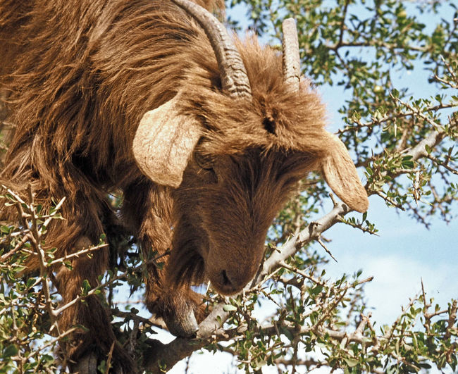 A tree climbing goat on the roadside approaching Taroudant, Morocco A Taste Of Morocco Goats Animal Head  Animal Themes Brown Close-up Cow Day Domestic Animals Livestock Low Angle View Mammal Nature No People One Animal Outdoors Sky Tree Tree Climbing Goat Perspectives On Nature Go Higher