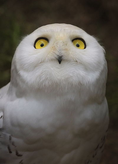 Snowy owl, bubo scandinacus, portrait