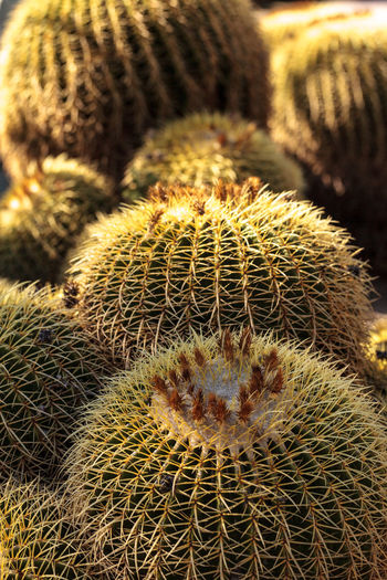 Golden barrel cactus Echinocactus grusonii flourishes in the desert of Mexico Cactus Cactus Cactus Garden Close-up Day Desert Echinocactus Grusonii Golden Barrel Golden Barrel Cactus Mexico Mother In Laws Cushion Nature No People Outdoors Prickly Sharp