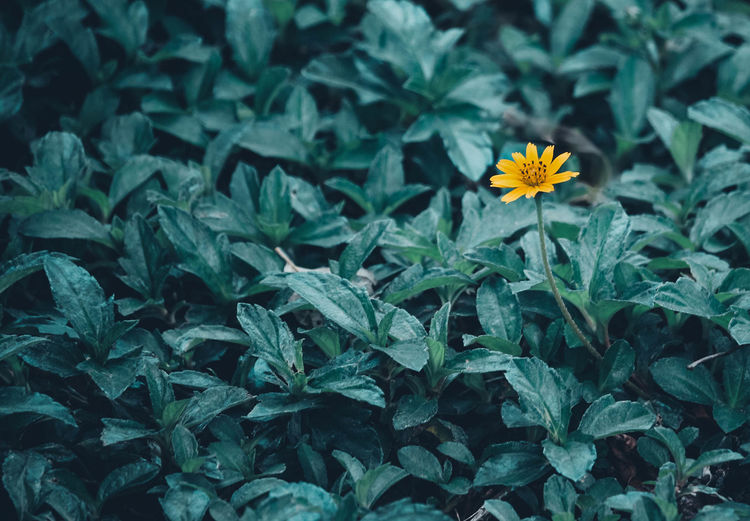 Plant Flowering Plant Flower Growth Freshness Fragility Vulnerability  Beauty In Nature Petal Flower Head Plant Part Inflorescence Leaf Nature Green Color Close-up Yellow Day No People High Angle View Outdoors Gazania