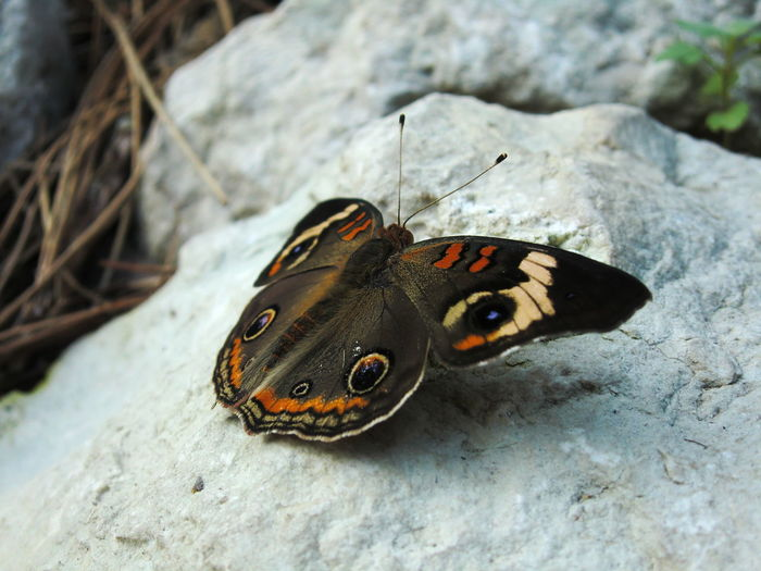 Animal Markings Animal Themes Animal Wildlife Animals In The Wild Beauty In Nature Butterfly Butterfly - Insect Close-up Day High Angle View Insect Nature No People One Animal Outdoors Perching Wildlife
