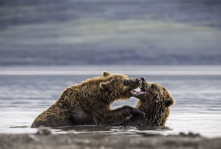Grizzly bears fighting in lake