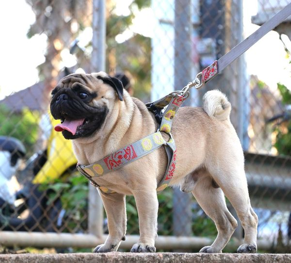 Animal Pets Dog Panting Pet Collar Pet Leash Pug Puppy