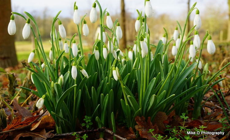 Beauty In Nature Close-up Day Flower Flower Head Fragility Freshness Grass Green Color Growth Nature No People Outdoors Plant Snowdrop