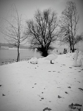 Winter Snow Cold Temperature Bare Tree Tree Frozen Nature Ice Outdoors No People Beauty In Nature Day Frozen Water Sky River Riverside Riverbank Swans Animals In Winter Birds Ice On River Danube River View Landscape Blackandwhite