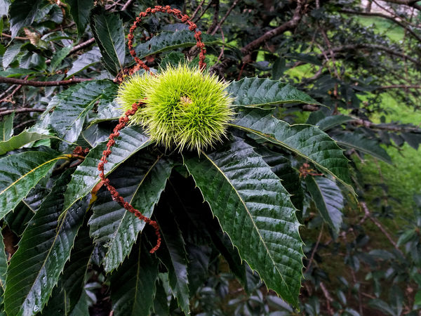 Spiny Chestnuts Ripening Fruit Green Color Branches And Leaves Chestnuts Close-up Botany Outdoor Photography Tree Leaf Branch Close-up Green Color Plant Spiked Thorn