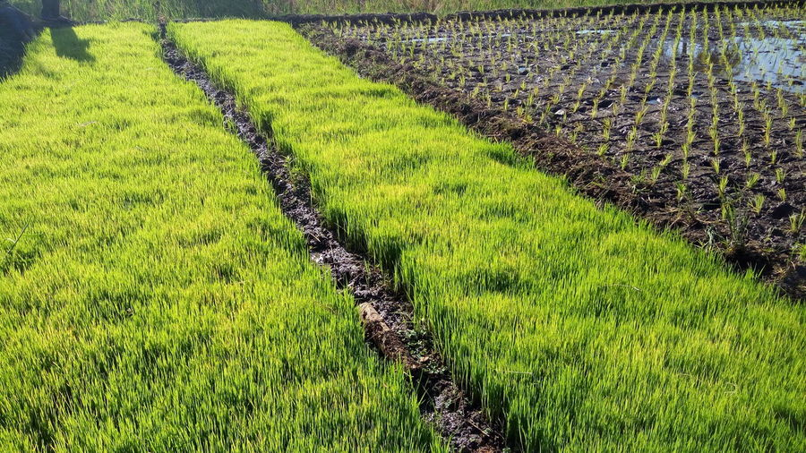rice planting season Plant Landscape Rural Scene Growth Field Environment Scenics - Nature Green Color Land Grass Nature Agriculture Tranquil Scene Tranquility Beauty In Nature Farm Crop  Rice - Cereal Plant Day No People Outdoors Gardening
