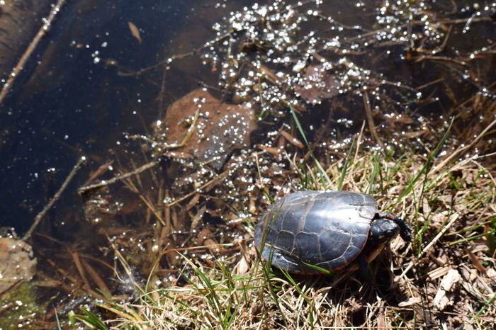 Turtle Painted Turtle Pond Pond Life Nature Adventure Nature Photography Spring Nikon The Great Outdoors - 2016 EyeEm Awards