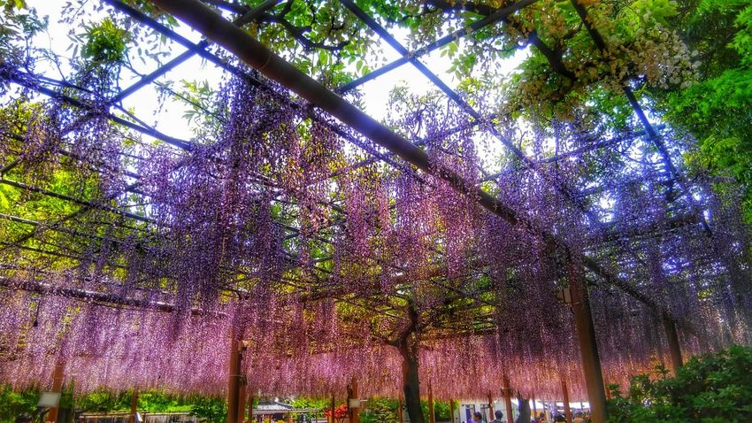 Gradationcolor Violet Purple Sky Park Wisteria Eyeemphotography Nature Beauty In Nature EyeEm Gallery EyeEm Best Shots EyeEm Flower