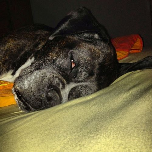 To tired to move out from MY part of bed... Dog Tired Stealmybed Love