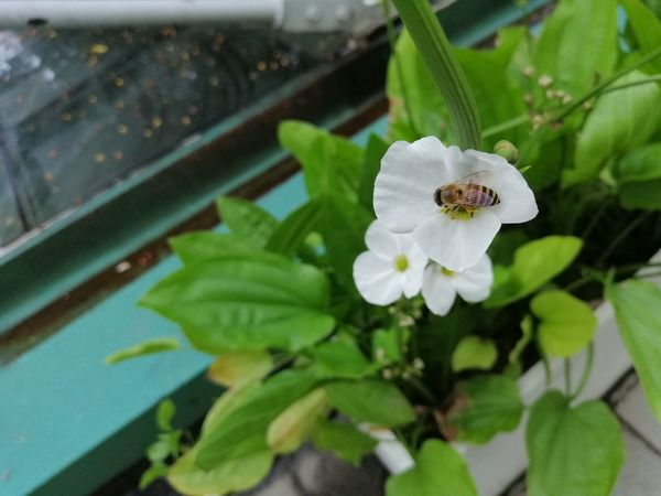 White flower and little bee Green Beauty In Nature Bee Close-up Day Flower Flower Head Flowering Plant Freshness Green Color Growth Leaf Little Bee Nature No People Outdoors Petal Plant Plant Part Pollen White Color White Folwers