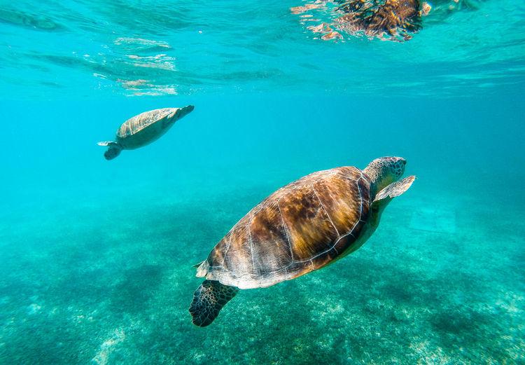 Sea Turtles Swimming Underwater