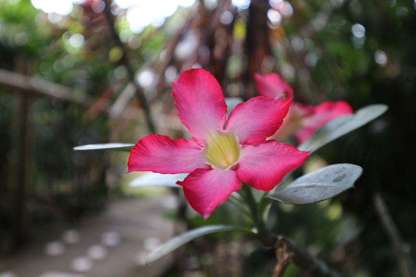 Flower Plant Nature Beauty In Nature Growth Pink Color Outdoors Day Freshness Backyard