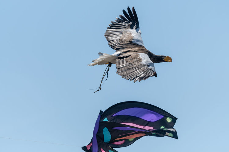 Close up of a stellers sea eagle flying in a falconry demonstration