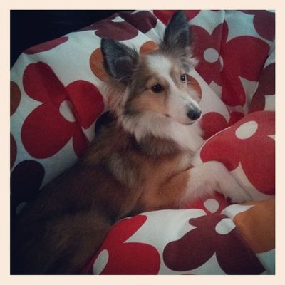 New favourite spot Dog Sheltie Sheltiemix Mixedbreed puppy beanbag