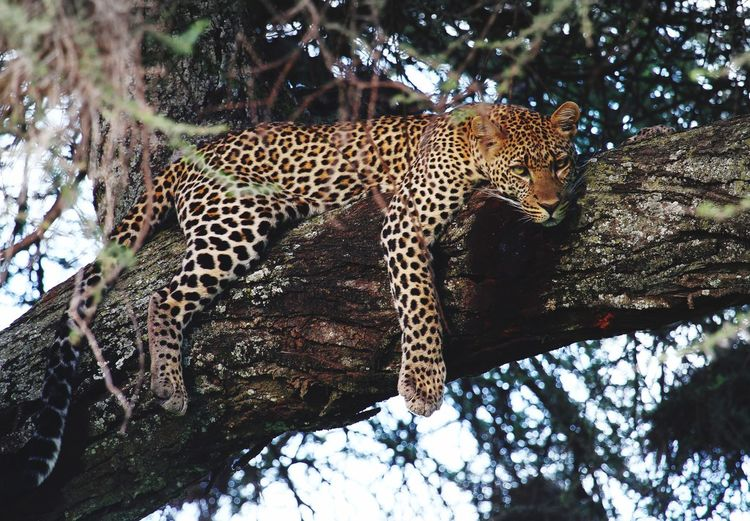 Low Angle View Of Leopard Relaxing On Tree