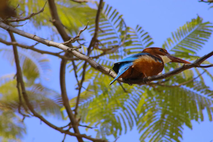 Kingfisher Collection Kingfisher Bird Animal Themes Animal Wildlife Animals In The Wild Beauty In Nature Bird Branch Close-up Day Kingfisher Birds Of EyeEm Kingfisher Bird Kingfisher Collection Low Angle View Nature No People One Animal Outdoors Perching Tree