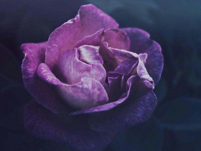 Dark Rose...