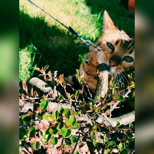 Cats Catsagram Animals Tiger Bengal Eyes Loveit