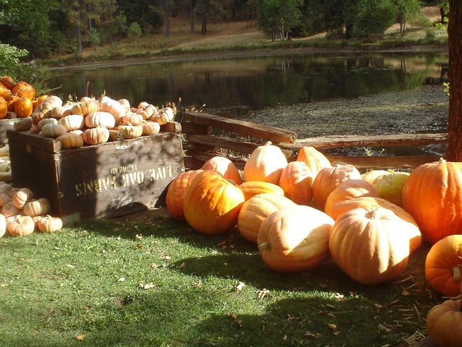 Pumpkin Vegetable Nature Lake Outdoors No People Growth Water Grass Beauty In Nature Day Food October Pumpkins Autumn Fall Bright Orange Farm California Agriculture California Crop