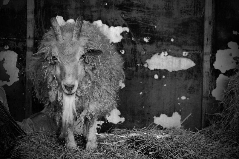 RAM Sheep Wall