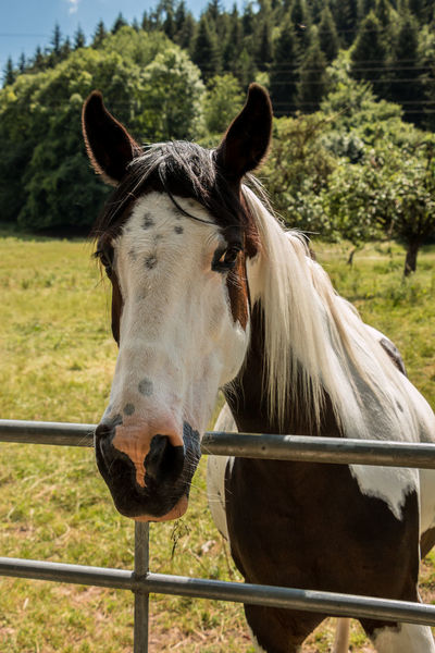 Horses on the green meadow Animal Animal Body Part Animal Head  Animal Pen Animal Themes Animal Wildlife Barrier Boundary Day Domestic Domestic Animals Fence Field Herbivorous Horse Land Livestock Mammal No People One Animal Outdoors Paddock Pets Ranch Vertebrate