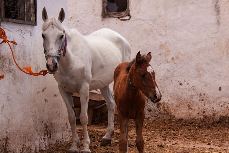 Horse and foal standing against barn
