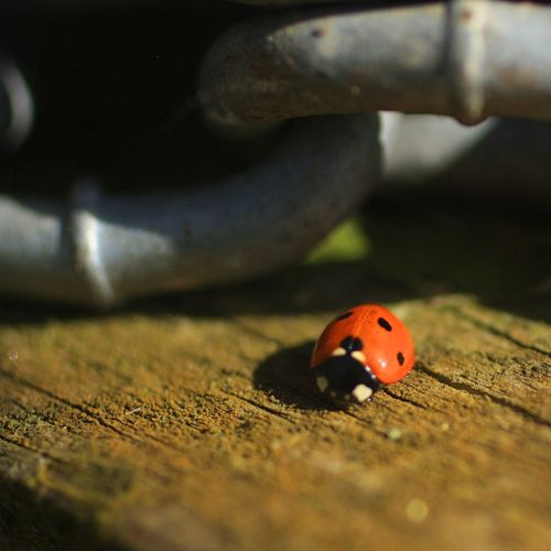 Ladybird Standalone Farm Chain Ladybird Ladybug Insect Animal Wildlife Invertebrate Animals In The Wild Beetle One Animal Selective Focus Close-up Spotted Nature Day Red Outdoors Small