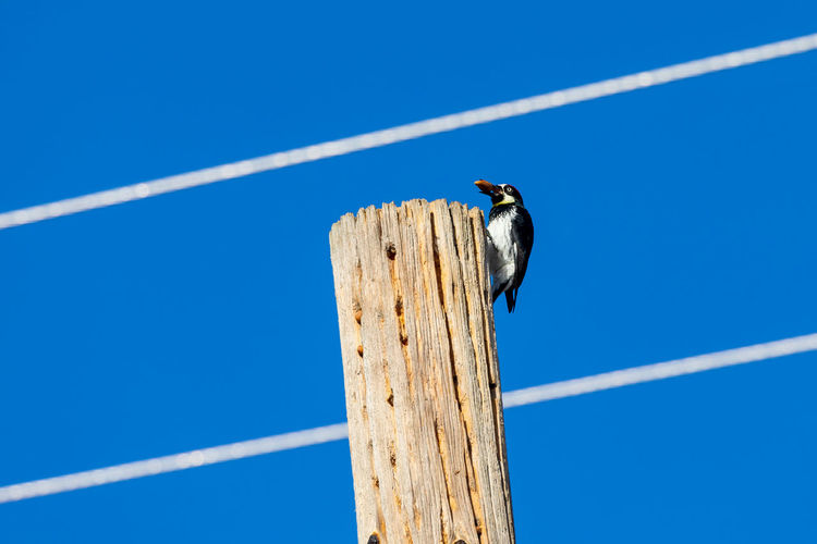 Low angle view of woodpecker perching on wooden post against blue sky
