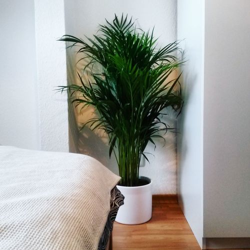 Air Refresher Bed Bedroom Decor Decoration Dypsis Decaryi Foliage Home Home Interior Home Is Where The Art Is Indoors  Interior Interior Design Interior Views Living Room Palm Palm Leaves Palm Tree Plant Plant Pot Plant Potted Plant Refresh Room Room Decor