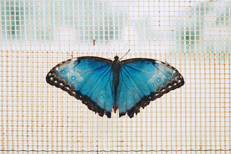 Blue Butterfly - Insect Insect Pattern Close-up Animal Themes Moth Butterfly Animal Wing Spread Wings