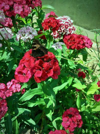 butterfly BetterflyMarketing Butterfly Garden Butterfly ❤ Flowers,Plants & Garden Nature Animal Themes Animal Wildlife Beauty In Nature Betterfly Butterfly - Insect Butterfly Collection Butterfly Macro Butterfly On Flower Day Flower Flowers No People