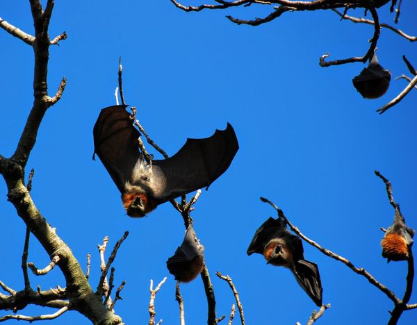 Animals In The Wild Flying Fox Hello World Low Angle View Megabat Morning Exercises Outdoors Sydney Sydney, Australia Wildlife