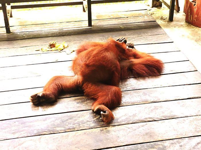 Orang Utan (seduku) Kuching Sarawak Borneo Seduku Semenggoh Nature Reserve Orangutan Of Borneo One Animal Animal Themes Animal Relaxation Lying Down Animal Wildlife Animals In The Wild