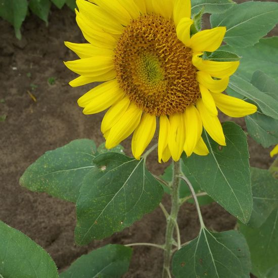 Growth Beauty In Nature Nature Sunflower Close-up Beautiful Life Hello World Time To Reflect Beauty In Nature Lifeisgood Beauty In Ordinary Things GodsCounty BeStillAndKnow Agriculture Tranquil Scene Happy :) Happyplace Taking Photos Check This Out Flower Inspired Perspective Inspirational Nofilterneeded