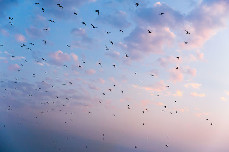 Animal Themes Animal Wildlife Animals In The Wild Beauty In Nature Bird Bird Of Prey Cloud - Sky Day Flock Of Birds Flying Large Group Of Animals Low Angle View Mid-air Migrating Nature No People Outdoors Silhouette Sky Spread Wings Sunset Togetherness Wildlife