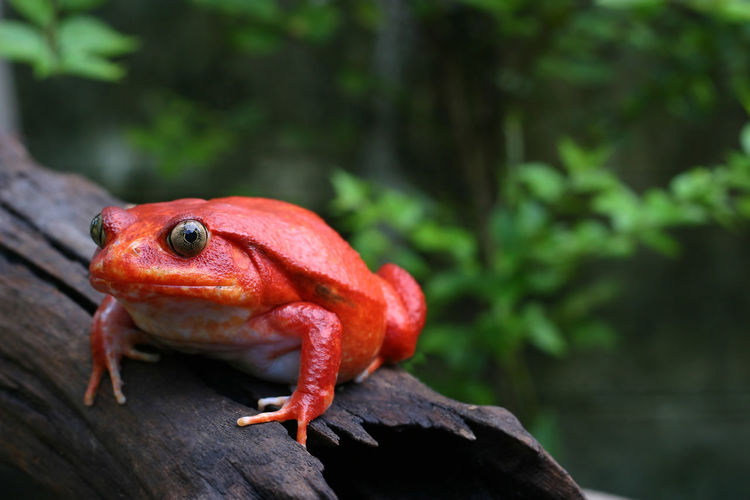 Beautiful adult female tomato frog in natural background with selective focus