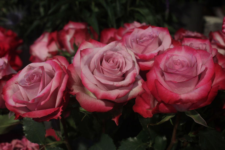 Three pale pink roses, symbol of fresh love. Pink Color Pale Pink Flower Coral Salmon Colored Valentine's Day  Symbol Of Love Petal Power Close-up Petals🌸 Head Of Flowers 3 Roses Wallpaper Theme