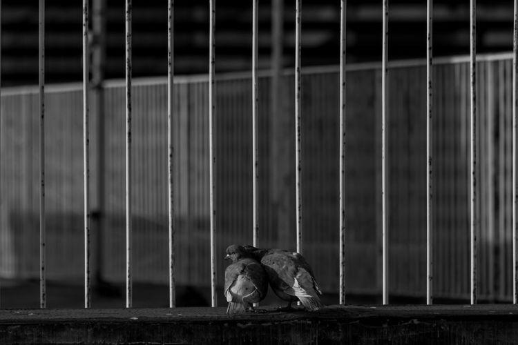 Pigeons in love