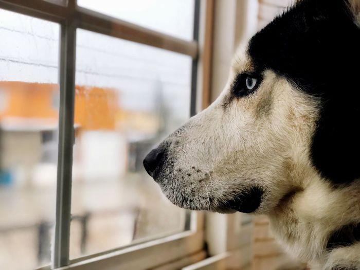 Rain Husky One Animal Animal Themes Dog Canine Pets Domestic Animal First Eyeem Photo