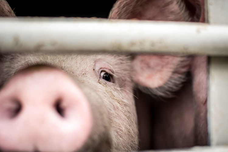 Mammal Animal Themes Animal Livestock Animal Body Part Domestic Animals One Animal Close-up Selective Focus Domestic Pig Animal Head  Pets Day Farm Agriculture Portrait Indoors  Nose Vertebrate Snout Animal Nose Animal Mouth