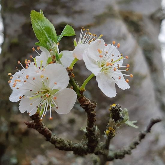 1/3 The Beauty Around Me Urbanana Pale Pink Flower Christmas Plums In My Garden From My Plum Tree Flowers Here Comes Spring Flower Head Tree Flower Branch Blossom White Color Botany Close-up Plant Fruit Tree Twig Flowering Plant Plum Blossom Stamen In Bloom Pollen