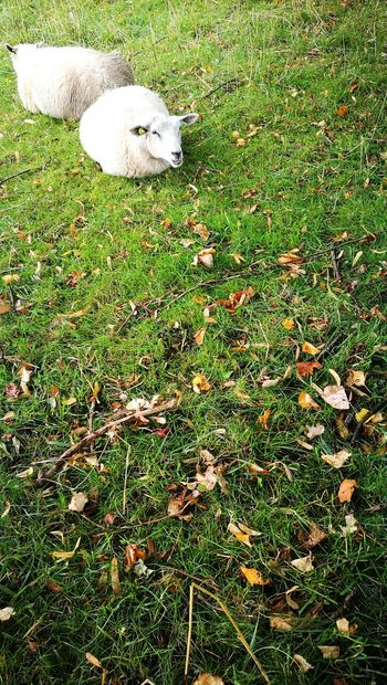 Grass Green Color Nature Animal Themes Outdoors Domestic Animals Sheep Sheeps Sheep🐑 Sheeps. Farm Animals Farm Animal